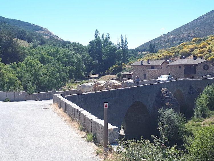 Puente río sin ganado acuarela